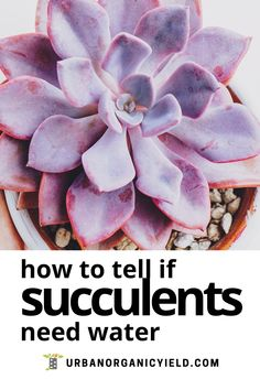 Do you know when to water your succulents? What is the best way to water succulents? Read on how how to water your succulents even if your pot has no drainage holes. #Succulents #Houseplants #IndoorGardening #Gardening #UrbanOrganicYield How To Water Succulents, Types Of Succulents, Growing Succulents, Succulents In Containers, Water Plants, Planting Succulents, Homestead Farm, Succulent Care, Drought Tolerant Plants