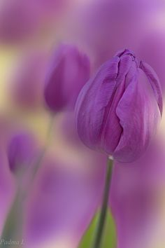 Tulips by Padma Inguva Nature Plants, Flowers Nature, My Flower, Flower Power, Beautiful Flowers, Color Uva, Happy Paintings, All Things Purple, Flower Pictures