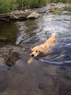Golden Retriever ~ Classic Look Cute Puppies, Cute Dogs, Dogs And Puppies, Doggies, Baby Animals, Cute Animals, Golden Dog, Golden Rule, Golden Fish