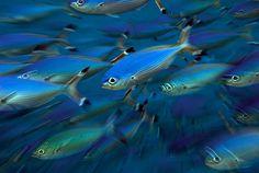 Fussilers by sea zoom, via Flickr
