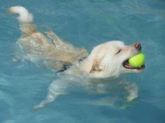 愛犬投稿:黄色いボール取れちゃった瞬間、飛び出した金太郎スマイル良いお顔してるね。。。  投稿者::☆彡そら☆彡さん