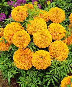 African Marigold 'Golden Age' grows well in the shade.