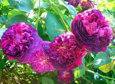 """Love this purple rose  This is an old french variety created in 1884 called """"Souvenir d' Alphonse Lavallée""""."""