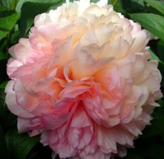 "Peony 'Salmon Hayes'. Paeonia. 30"" tall. Blooms in May. Color variation between deep pink, cream, salmon, and bicolor."