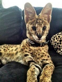 A raça savannah também faz parte dos gatos gigantes