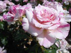 Rosier Berlingot® pour bordure et massif. Love Rose, Green, Flowers, Plants, Beautiful Roses, Rose Bush, Plant, Royal Icing Flowers, Flower