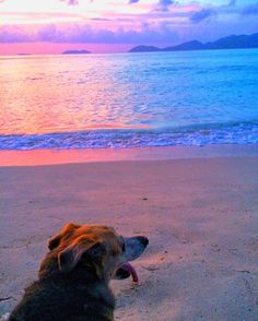 #sunset #islanddog #beachdog #lovemydog #dogsofinstagram #islandlife #happyearthday #beach #caribbean #caribbeansea #bvi #tortolabvi #tortola #virginislands #doglover #islandliving #chillmode #relax #timetorelax #happydog #dogslife #perro #hund #perrosdeinstagram #perrosfelices #mascota #hundeliebe #hundstagram #hundefreunde by rumandriesling