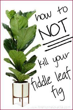 I love these plants ... Great info for a serial fiddle leaf fig killer ... Fiddle Leaf Fig Care