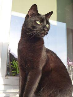 Rodion- czarny kot