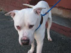 SAFE --- URGENT - Brooklyn Center   AUDI - A0989861   MALE, WHITE / BROWN, PIT BULL MIX, 2 yrs  STRAY - STRAY WAIT, NO HOLD Reason STRAY  Intake condition NONE Intake Date 01/18/2014, From NY 11214, DueOut Date 01/22/2014 MAIN THREAD: https://www.facebook.com/photo.php?fbid=744258865586995&set=a.743329399013275.1073742871.152876678058553&type=3&theater