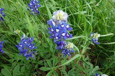 texas bluebonnet 2015