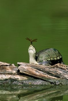 Mud Turtle with Dragonfly ~ Bill Draker - http://www.pinterest.com/amy0344/dragonfly-everything/