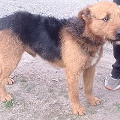 Pictures of Jake a Airedale Terrier for adoption in Allentown, PA who needs a loving home.