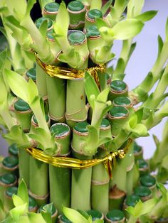 Lucky Bamboo is a traditional name for this ever green up-straight plant with long thin leaves. It is often used in Feng Shui and it grows wealth, good luck and any kind of positive thing you want to grow. Lucky Bamboo Plants, Bamboo Tree, Feng Shui Guide, Japanese Plants, Feng Shui Energy, Feng Shui Cures, Feng Shui House, Good Luck Symbols, Herbal Magic