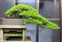 Kokufu white pine | Crataegus Bonsai