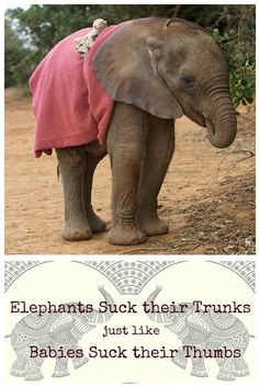 Fun fact: Baby elephants suck their trunks just like human babies suck their thumbs.