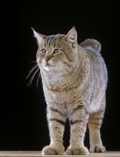 le plus musclé : le pixie-bob Mini lynx avec des plumeaux sur les oreilles et des pattes de tigre, le pixie bob est le seul chat de race, créé par des éleveurs américains, officiellement polydactyle, avec 6 ou 7 doigts au lieu de 4. Encore peu connu en France. son fan club ne jure que par son caractère de chat/chien : facile à vivre au quotidien, dévoué et fidèle.