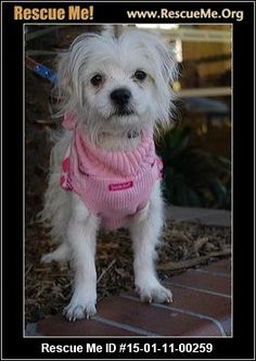 Rescue Me ID: 15-01-11-00259EMMA! (male)  Maltese Mix  Age: Puppy  Compatibility:Good w/ Most Dogs, Good w/ Most Cats, Good w/ Kids and Adults Personality:Low Energy, Submissive Health:Neutered, Vaccinations Current  Meet Emma This loveable 1 year old Maltese mix was being surrendered to the shelter.. we stepped in and took her under our wing. She is so sweet and affectionate,great with other dogs,cats and kids. Emma weighs about 8lbs. To meet Emma email ...