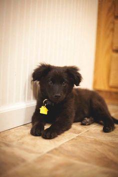 A beautiful black Newfoundland x golden retriever puppy