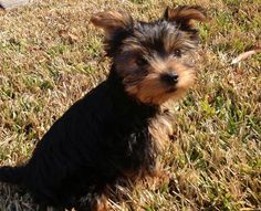 Gracey Bell the Yorkie Pictures 942065