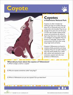 """Coyotes' famous howl gave them the nickname """"song dogs."""" This is just one of several coyote facts your child can learn from this worksheet. Social Studies Worksheets, Science Worksheets, Science Activities, Activities For Kids, School Worksheets, Yellowstone National Park, National Parks, Visit Yellowstone, Reading"""