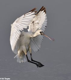 The bird is coming into land | the Internet Bird Collection beautiful black faced spoonbill in flight.
