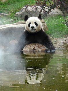 ~ Giant Panda: Yuan Zi in the bath! ~