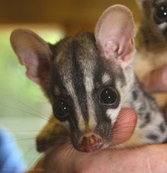 Baby Owston's Civet | 22 Of The Cutest Animal Babies You've Never Seen Before
