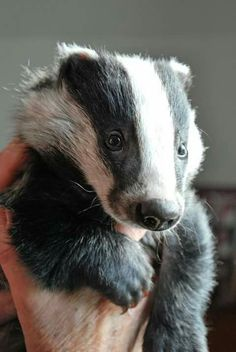 Adorable badger Animals And Pets, Baby Animals, Funny Animals, Cute Animals, Baby Badger, Honey Badger, Primates, Mammals, Beautiful Creatures