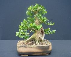 die besten 25 englischer bonsai buchsbaum ideen auf. Black Bedroom Furniture Sets. Home Design Ideas