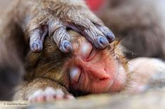A mother's hand by Alain Mafart Renodier (France)  Alain was on a winter visit to Japan's Jigokudani snow monkey park when he took this photograph of a sleeping Japanese baby macaque, its mother's hand covering its head protectively. Photograph: Alain Mafart Renodier/2016 Wildlife Photographer of the Year