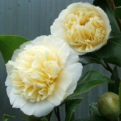Camellia x williamsii 'Jury's Yellow' (New Zealand, 1971)