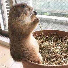 いいね!265件、コメント32件 ― @chizoocoのInstagramアカウント: 「植木鉢のフチの使い方 =❌背もたれ 改め ⭕️座席  . .  . . #プレーリードッグ #Prairiedog  #菖蒲 #ayame . .」