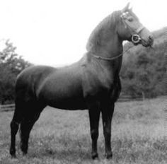 Vermilion, Ohio :: The Lippitt Morgan - Educational Purpose Beautiful Horses, Beautiful Babies, Connemara Pony, Pony Breeds, Soul Friend, Morgan Horse, Horse Silhouette, Thoroughbred, My Ride