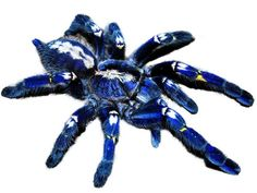 the rare Gooty Sapphire Ornamental tarantula, also known as the Peacock Parachute spider, native to an area fewer than 39 square miles in India