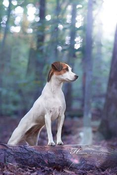Parson Jack Russell Terrier by Heavenly Pet Photography #dog #photos #woods…