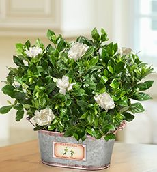 Gardenia Care & growing the gardenia flower is tricky but well worth the effort, having the exquisite smell in your garden & its delicate white flowers adorning a deep shinny deep green leafed shrub.