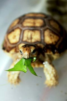 Sulcata tortoise hatchling