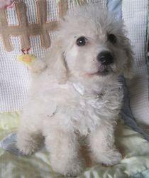 Looks like my baby Rocco, maltipoo