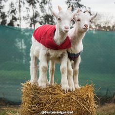Andrés y Samuel están felices de empezar juntos un nuevo día de cariño y juegos en el Santuario. Porque cuando los animales son dueños de sus vidas no hay mayor alegría para que ellos que estar junto a sus seres amados  -- #animals #animal #photooftheday #cute #pets #instagood #animales #cute #love #nature #animallovers #nature #beautiful #pretty #happy #instadaily #amazing #instalike #friends  #mothernature #instachile #inspiration #rescue #inspirational #vegan #vegan #govegan…