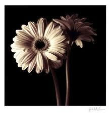 Google Image Result for http://sp.rpcs.org/faculty/HollencampM/Pictures/Black%2520n%2520White%2520Gerber%2520Daisy.PNG