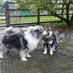A friendly little kiss from Shacal Tiltaltti to Infindigo Riemu Emmi Husky, Kiss, Puppies, Animals, Animaux, Animal, Animales, Husky Dog, Puppys