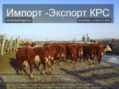 Мы в соц сетях.... заходите в гости http://kamagro.ru/prodazha-krs  1️⃣ Мы в контакте               https://vk.com/prodazha_krs 2️⃣ Наш сайт                       www.kamagro.com 3️⃣ Сайт моб.версия         www.kamagro.ru 4️⃣ Страница ГУГЛ            https://plus.google.com/collection/A7OlqB 5️⃣ Агросервер                   http://oookamagro.agroserver.ru/ 6️⃣ Мы в твиттере              https://twitter.com/ooo_kamagro 7️⃣ Так же мы есть в          Viber/ WhatsApp/ Telegram  (89656176005) 8️⃣…