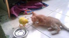 #Цыпленок считает #котенка мамой! #Chick thinks #kitten mom!
