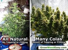 """See the natural """"Christmas tree"""" growth pattern vs a plant that has been FIMed or topped"""