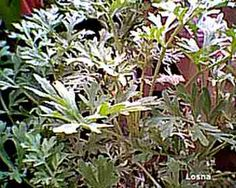 """Losna (Artemisia absinthium L)  provérbio de Salomão que teria declarado: """"a infidelidade, ainda que possa ser excitante e doce no seu início, costuma ter um fim amargo como a losna""""."""