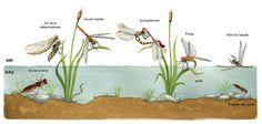 Illustration du cycle de vie de la libellule, pour le dossier pédagogique de la Réserve Naturelle des Gorges de la Loire. On y voit donc les différentes étapes de la vie de Sympetrum sp., donné en exemple : - État larvaire, - Métamorphose, - Vie de l'adulte...