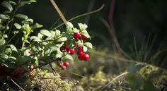 Ravanti Events, Lingonberries   by visitsouthcoastfinland #visitsouthcoastfinland #lingonberries #puolukka #metsä #forest