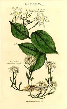 Jasmine illustration
