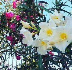 Beautiful flowers in Las Palmas Maspalomas